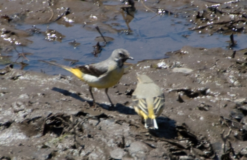 Grey Wagtails 1.jpg