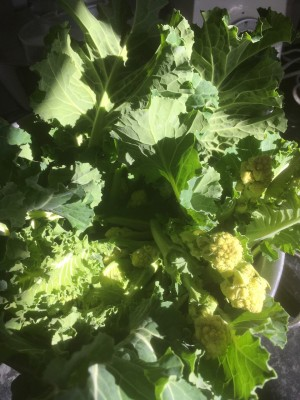 Broccoli white sprouting.jpg